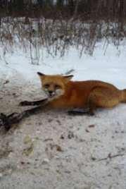 Fox Trap 2018